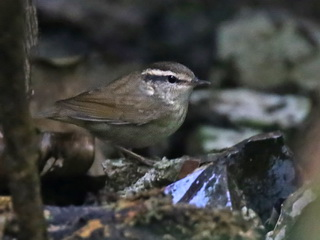 Asian Stubtail, Doi Inthanon