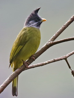 Crested Finchbill Doi Ang