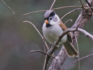 Grey-headed
