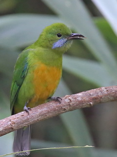 Orange-bellied