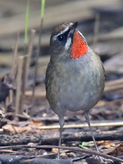 Siberian Rubythroat, Doi