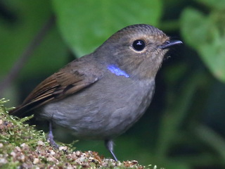 Small Niltava female