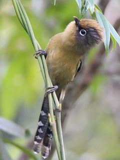 Spectacled Barwing, Doi