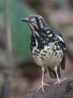 Ashy Thrush in the Philippines