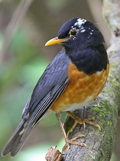 Black-breasted Thrush in Thailand