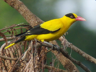 Black-naped Oriole in Philippines