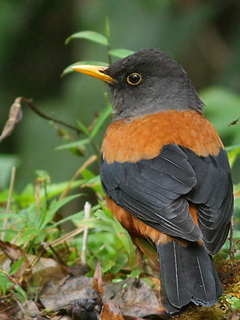 Chestnut Thrush in Thailand