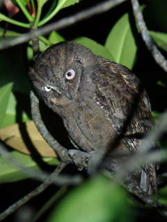 Mantanani Scops Owl in Palawan