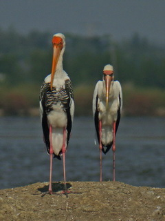 Milky and Painted Stork