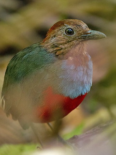 Moluccan Red-bellied Pitta
