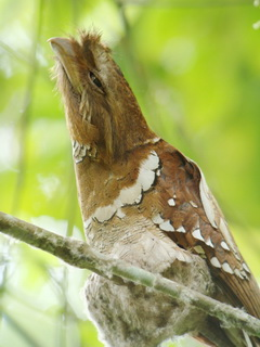 Philippine Frogmouth in Kitanglad
