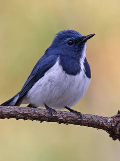 Ultramarine Flycatcher in Thailand