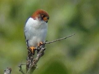 White-rumped Falcon in Thailand