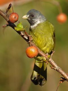 Birding Asia Collared Finchbill