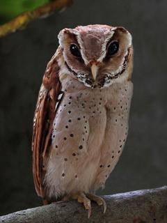 Oriental Bay Owl -Birding             Asia