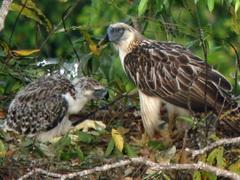 Philippine Eagle               nest Davao