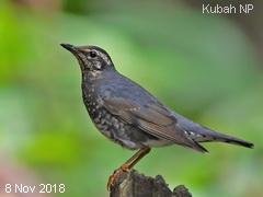 Bird tour to               Borneo.