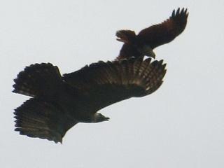 http://www.birding2asia.com/tours/reports/photosPhilFeb11/B2A_PhilippineEagle3_SDW.jpg