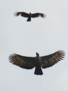 http://www.birding2asia.com/tours/reports/photosPhilFeb11/B2A_PhilippineEagle4_SDW.jpg